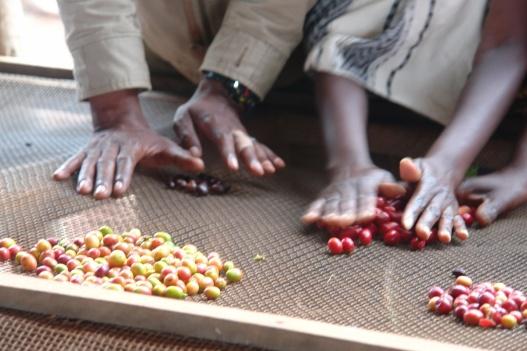 Sorting coffee cherries